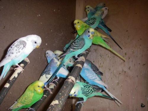 Уход за волнистыми попугаями все про волнистых попугаев. Разведение волнистых попугаев в неволе