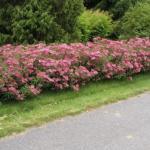 Нежное цветение спиреи - украшение сада?