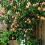 Жимолость каприфоль. Одна из лучших лиан, давно известная садоводам, - жимолость каприфоль.